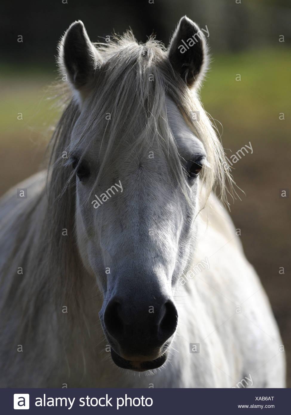 Eine weiße Walisisch wildes Pony in den Brecon Beacons. Stockfoto