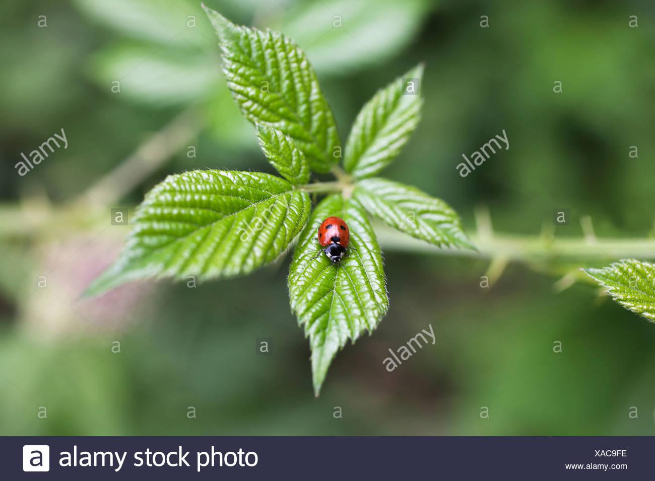 Rubus Fruticosus, Blackberry, Wild, grün, grün. Stockfoto