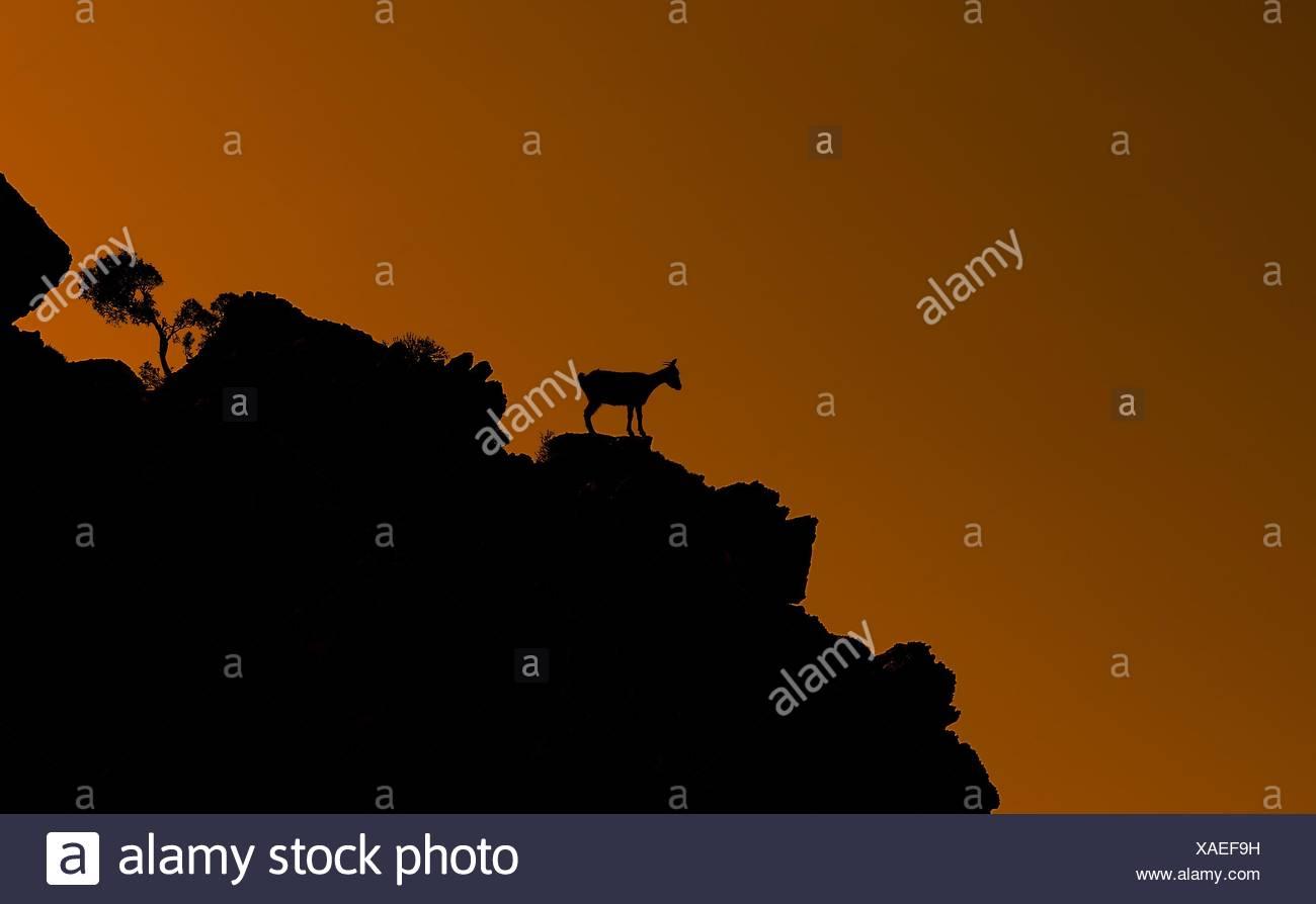 Silhouette einer Ziege stehend auf einem Hügel bei Sonnenuntergang, Tilos, Kos, Griechenland Stockbild