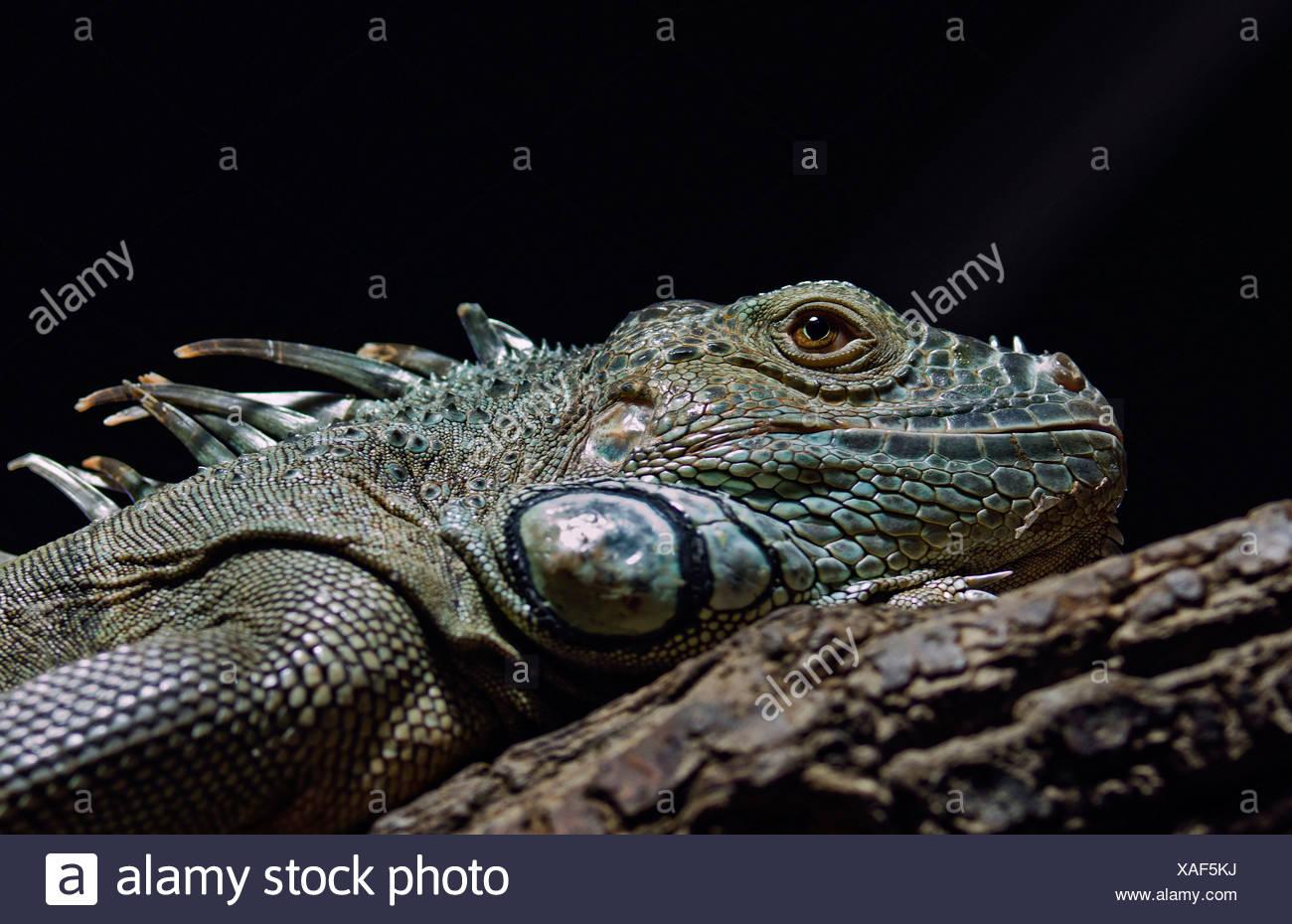 Grüner Leguan oder gemeinsame Leguan (Iguana Iguana), Zoologischen Garten Berlin Zoo, Berlin Stockbild