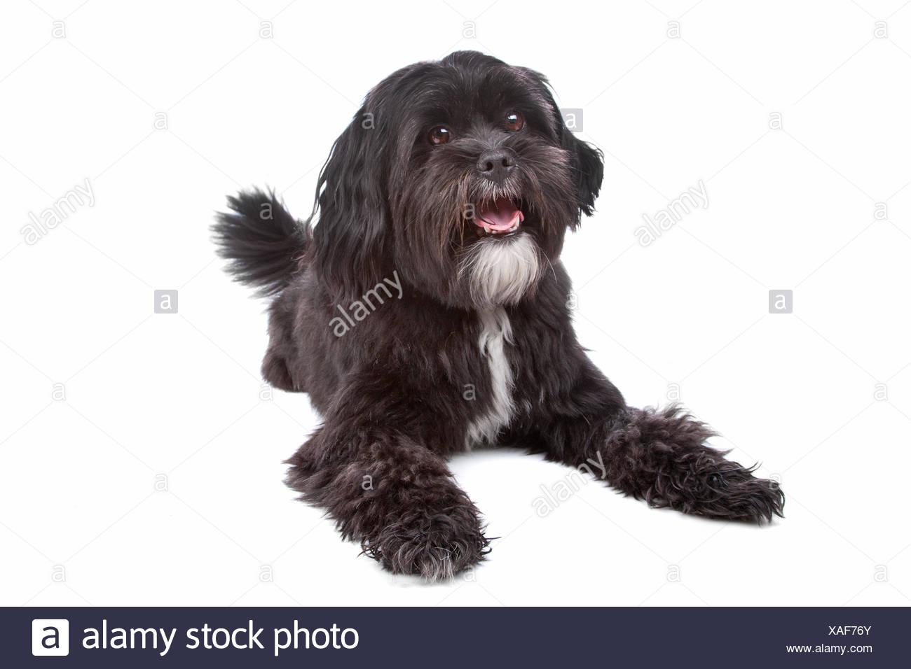 Shih Tzu Terrier Mix Stockfotos Shih Tzu Terrier Mix Bilder Alamy
