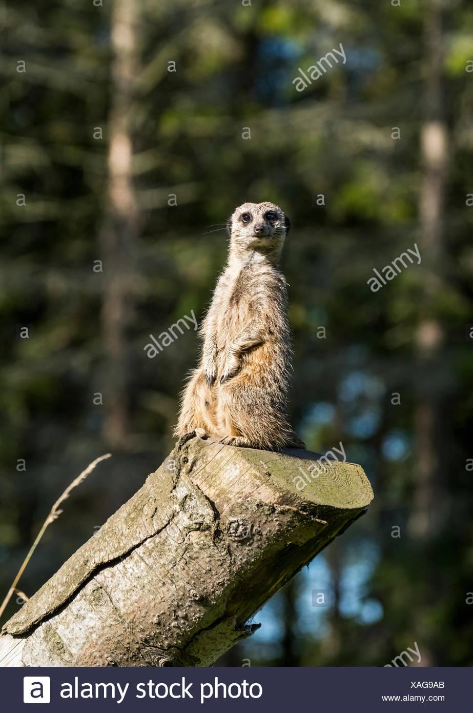 Ein Erdmännchen (Suricata Suricatta) sitzt wachsam und aufmerksam auf einem Baumstamm; North Yorkshire, England Stockbild