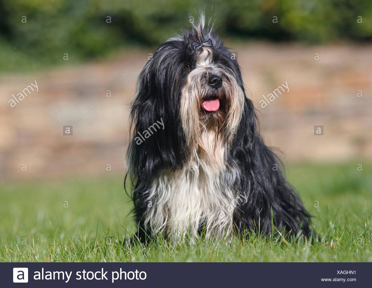 Tibet Terrier Schwarz Weiss Erwachsene 3 Jahre Alt Sitzt Auf