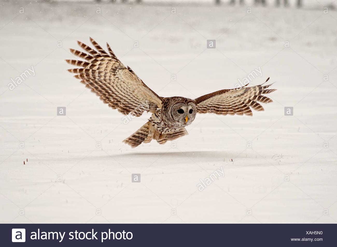 Streifenkauz Gleitet Auf Fang Eine Maus Auf Den Schnee Ontario