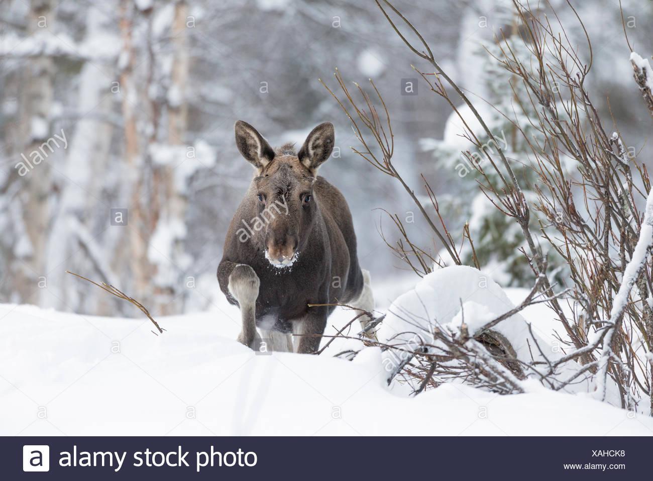Europäischen Elch, Alces alces, Wandern im Schnee. Stockbild