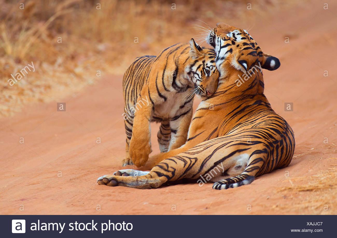 Koenigstiger, Indischer Tiger (Panthera Tigris Tigris) Bengaltiger, Weibchen Mit Jungtier, Indien, Tadoba Nationalpark | Bengalen Stockbild
