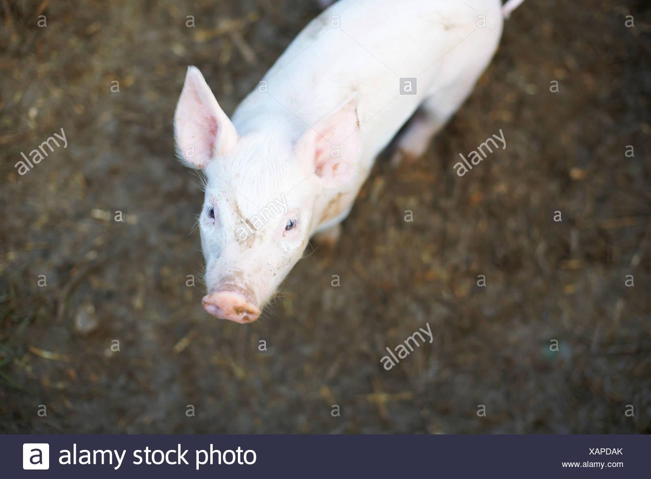 Schwein im Dreck Feld stehen Stockbild