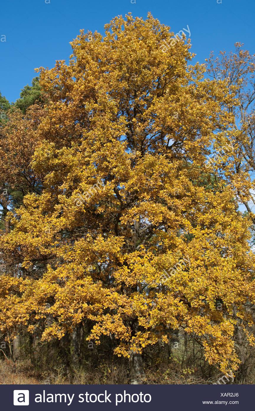 Pendelbewegung Eiche Stieleiche Quercus Robur Baum Im Herbst