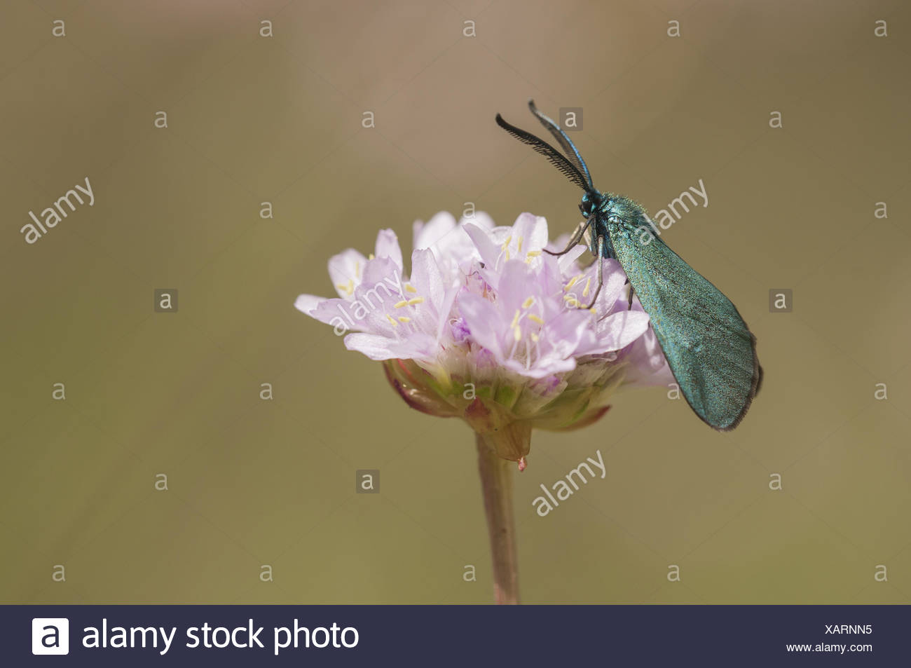 Förster (Procridinae), Deutschland Stockbild