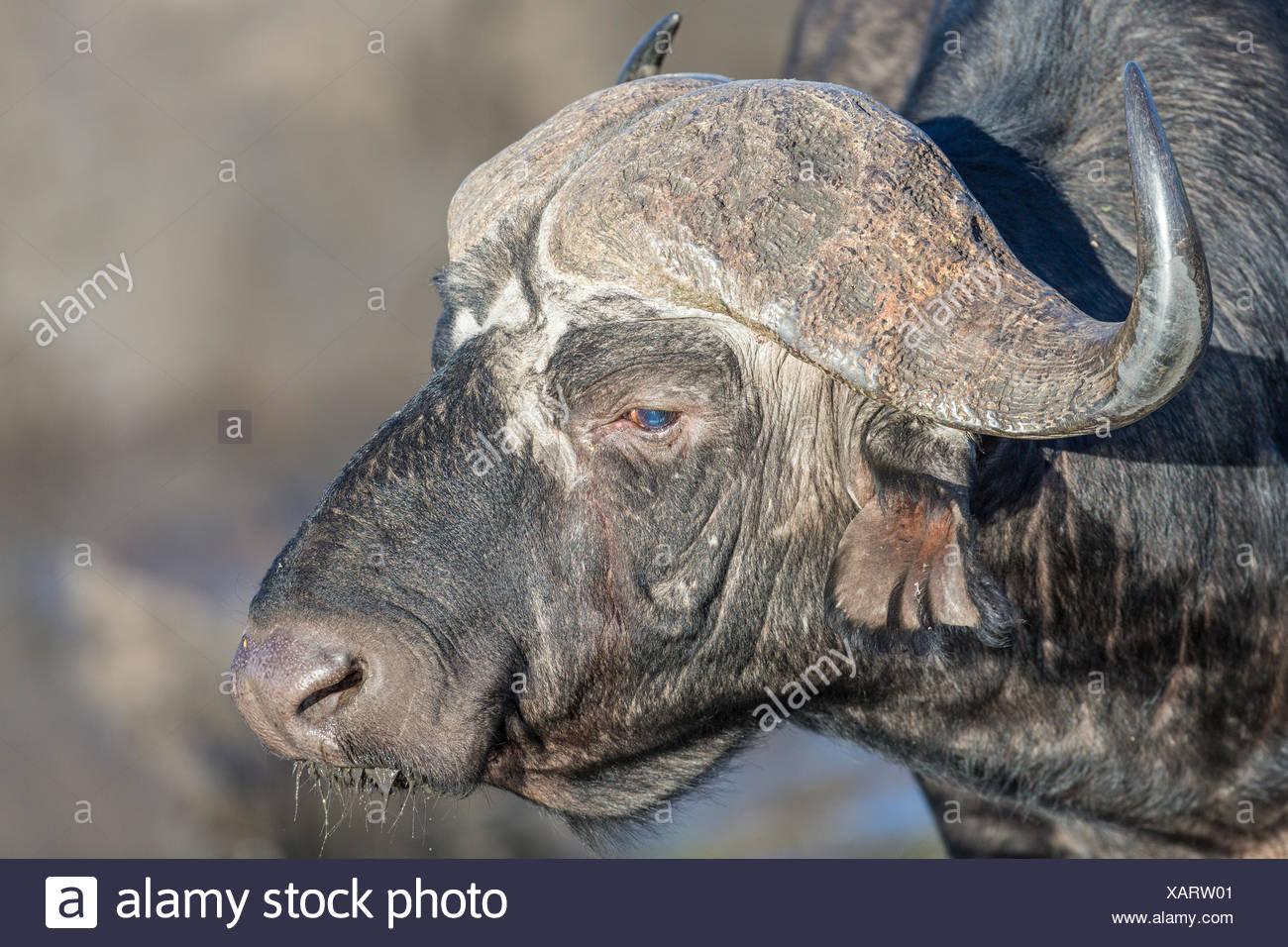 Kaffernbüffel (Syncerus Caffer), Sideview, Manyeleti Game Reserve, Südafrika Stockbild