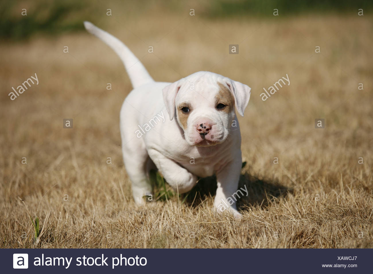 Amerikanische Bulldogge Welpe American Bulldog Welpen Stockfotografie Alamy