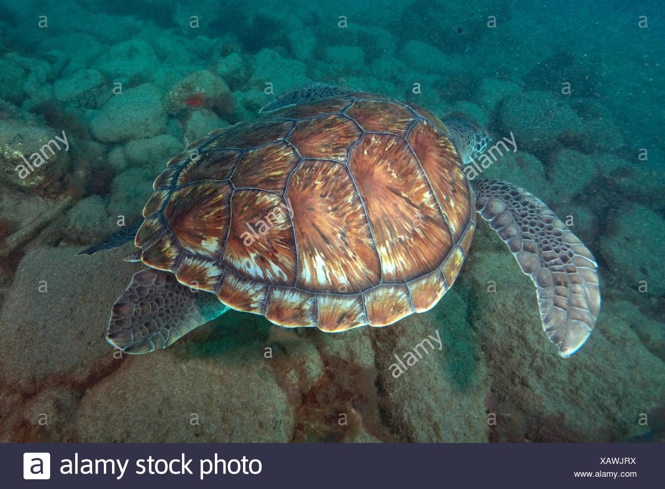 echte Karettschildkröte, Kanarische Inseln, Spanien, Europa, Atlantik / (Eretmochelys Imbricata) Stockbild