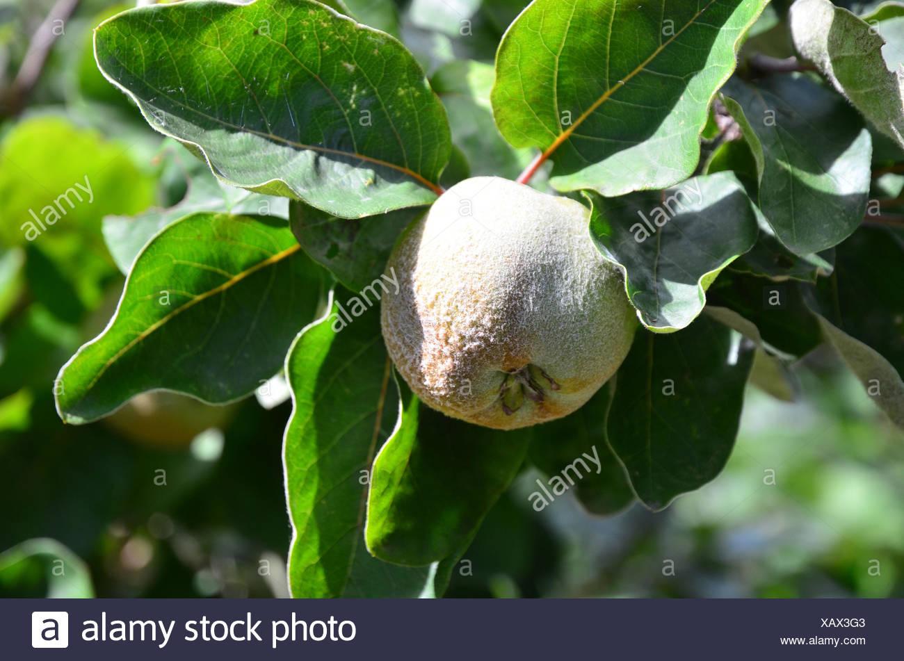 Obstbaum, Quitte, Obst, Stockbild