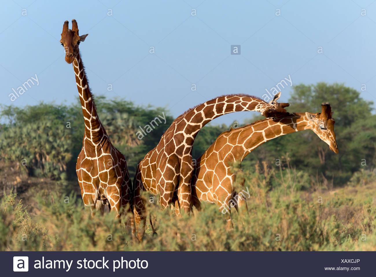 Drei somalische Giraffen oder netzförmigen Giraffen (Giraffa Reticulata Plancius), Samburu National Reserve, Kenia Stockfoto
