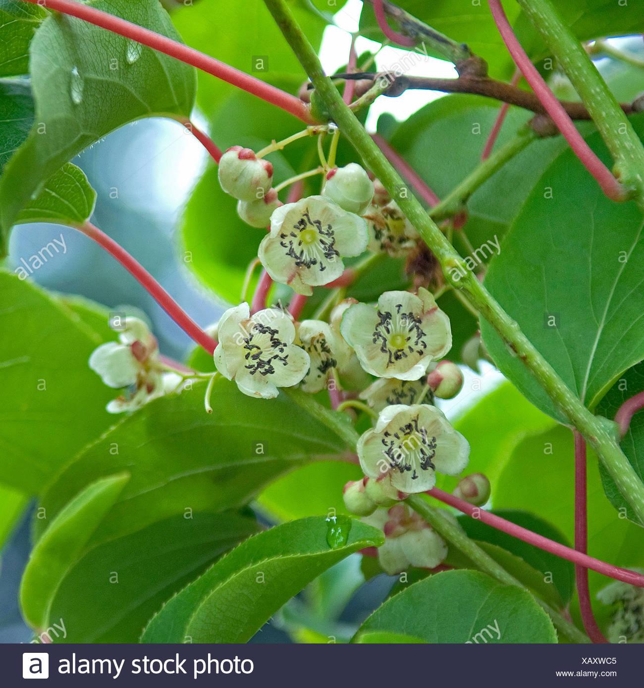 """Kiwi (Schnitt Mischpflanzungen """"Milano""""), männliche Blüten, Deutschland Stockbild"""