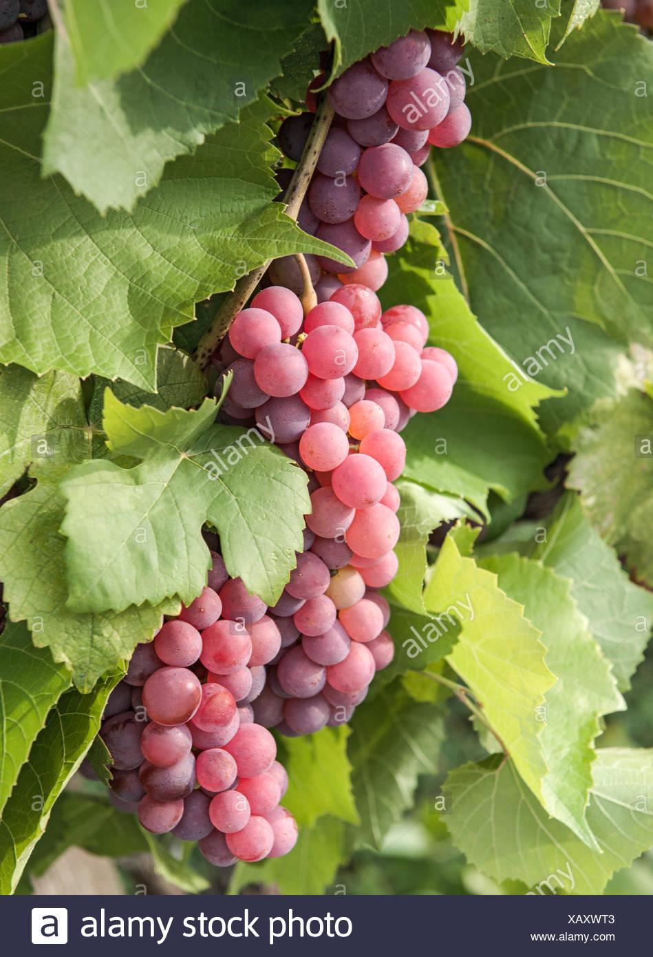 Weintrauben, Gewürztraminer, Weißweinsorte, Blätter, Weingarten, Gumpoldskirchen, Niederösterreich Stockbild