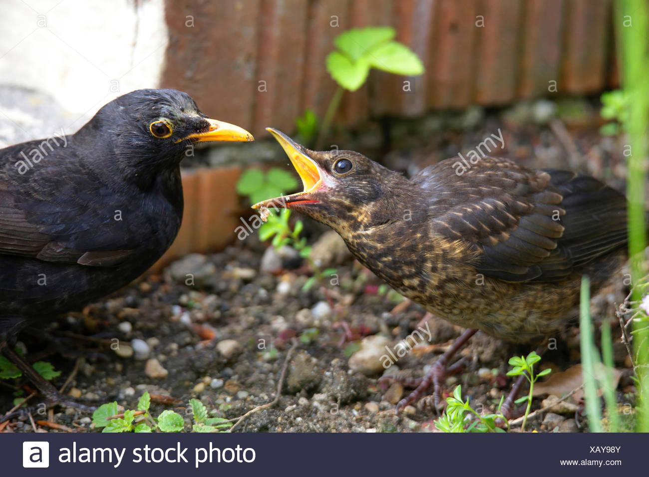 Amsel Turdus Merula Jungvogel Betteln Um Futter Mannliche