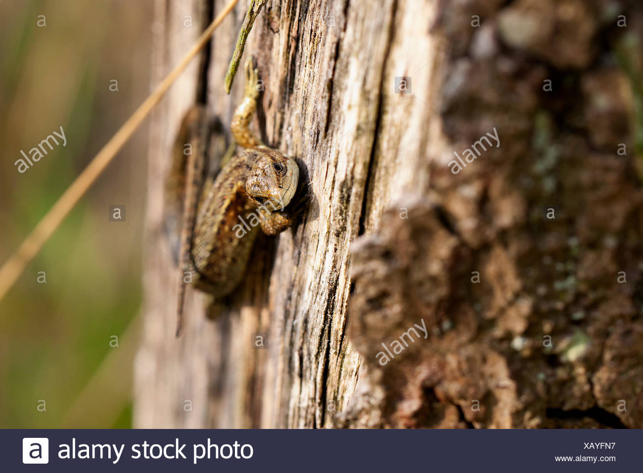 Waldeidechse - Zootoca vivipara Stockfoto