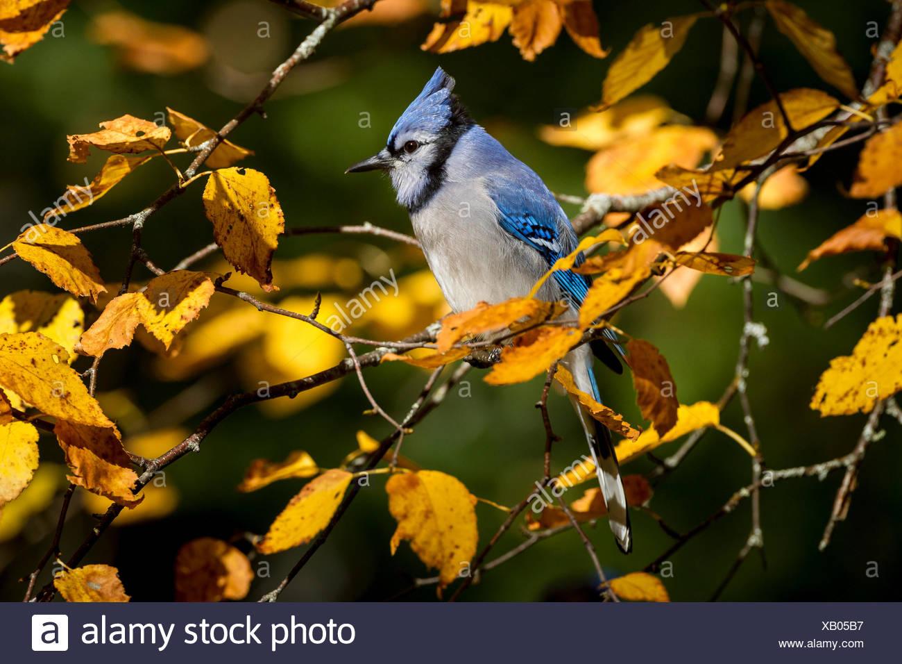 Blue Jay (cyanocitta cristata) Algonquin Provincial Park, Ontario, Kanada Stockbild