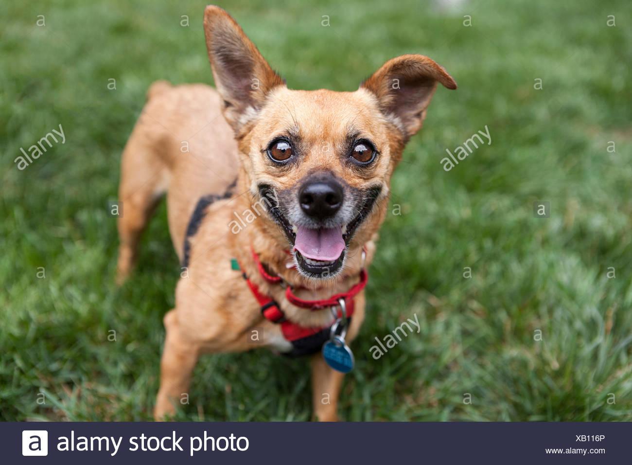 Groß Draht Foxterrier Chihuahua Mix Bilder - Schaltplan Serie ...