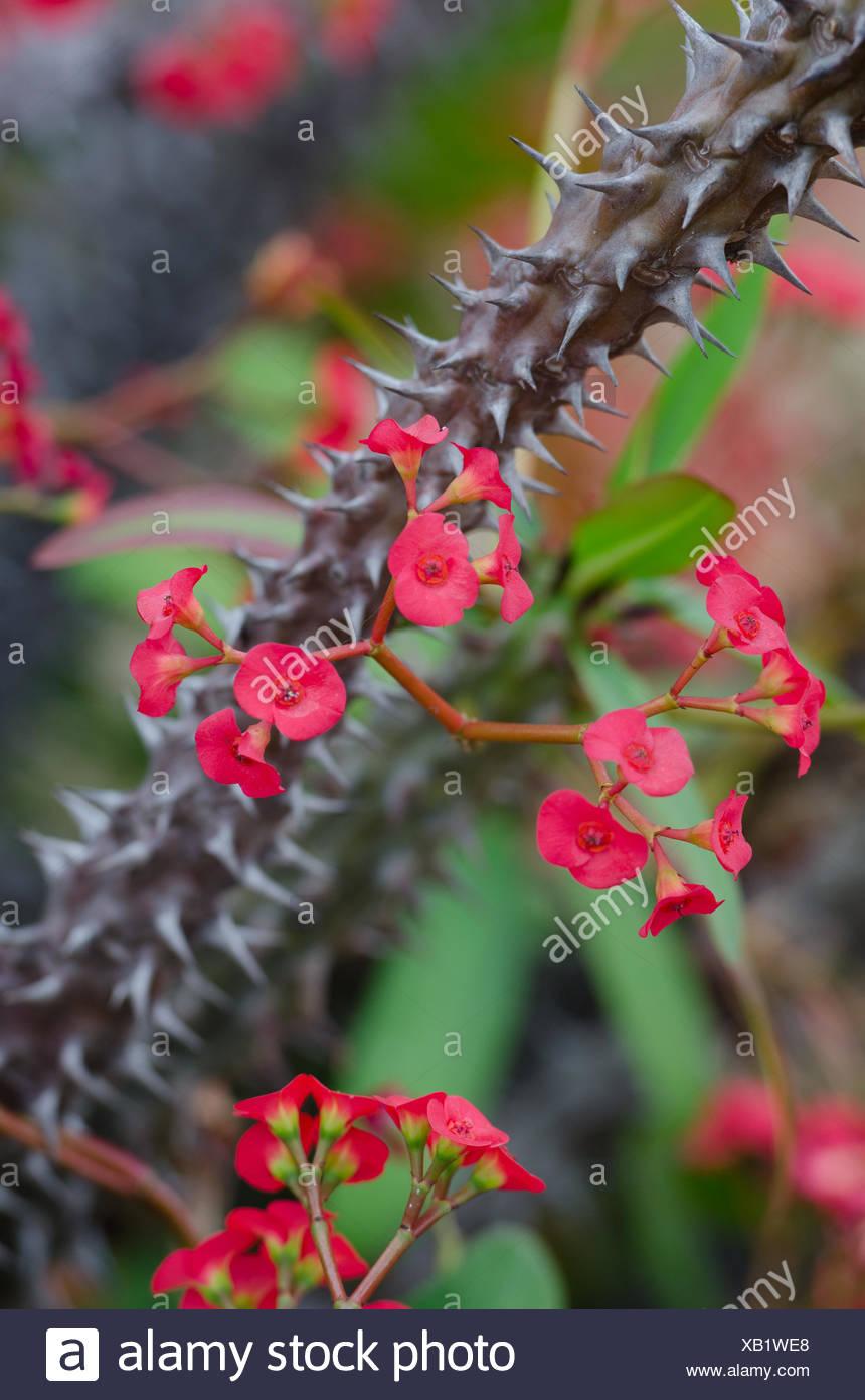euphorbia milii dornenkrone kaktus mit roten bl ten. Black Bedroom Furniture Sets. Home Design Ideas