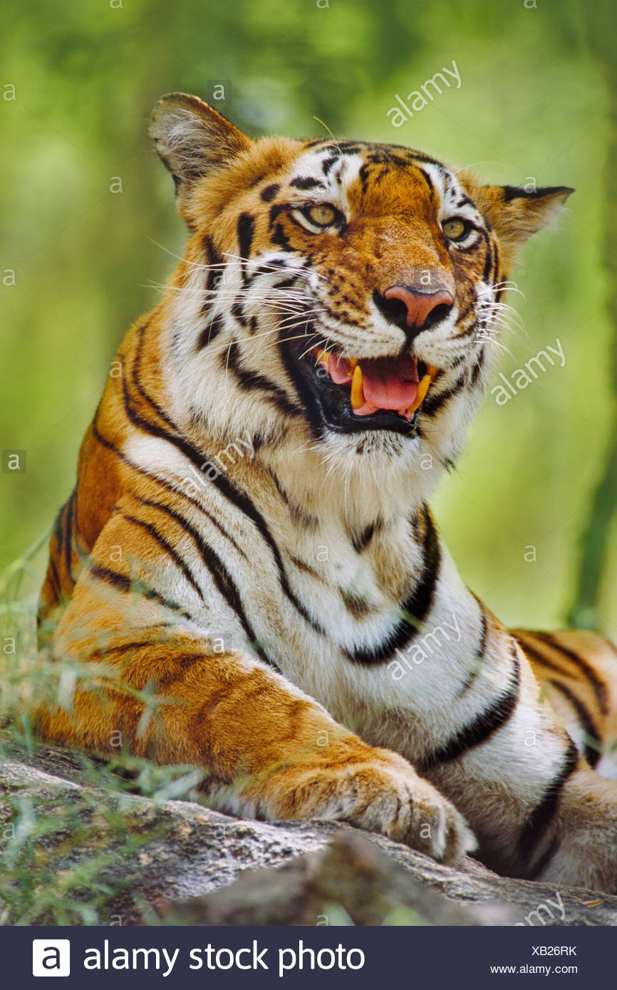 Bengal-Tiger-Panthera Tigris Tigris Western Ghats Indien Western Ghats Indien ruht Stockbild