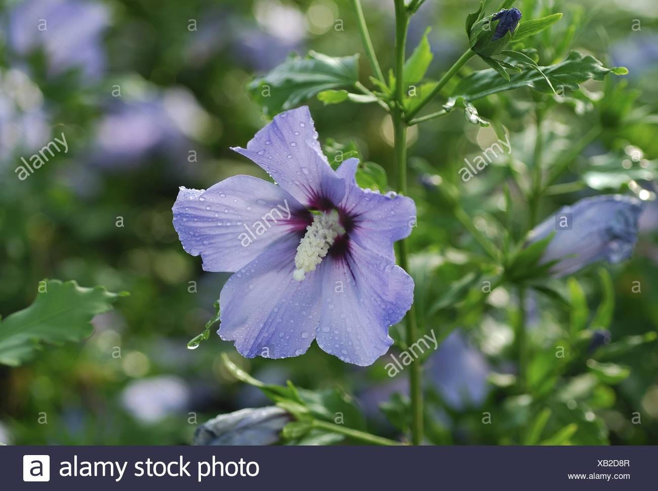 Strauchige Althaia Rose Von Sharon Hibiscus Syriacus Blue Bird