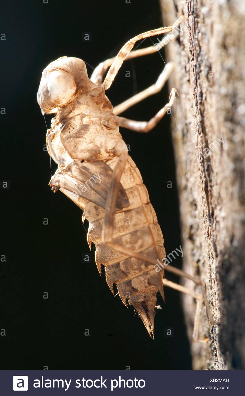 Zikade Haut Gehäuse auf Baum Panama Stockbild