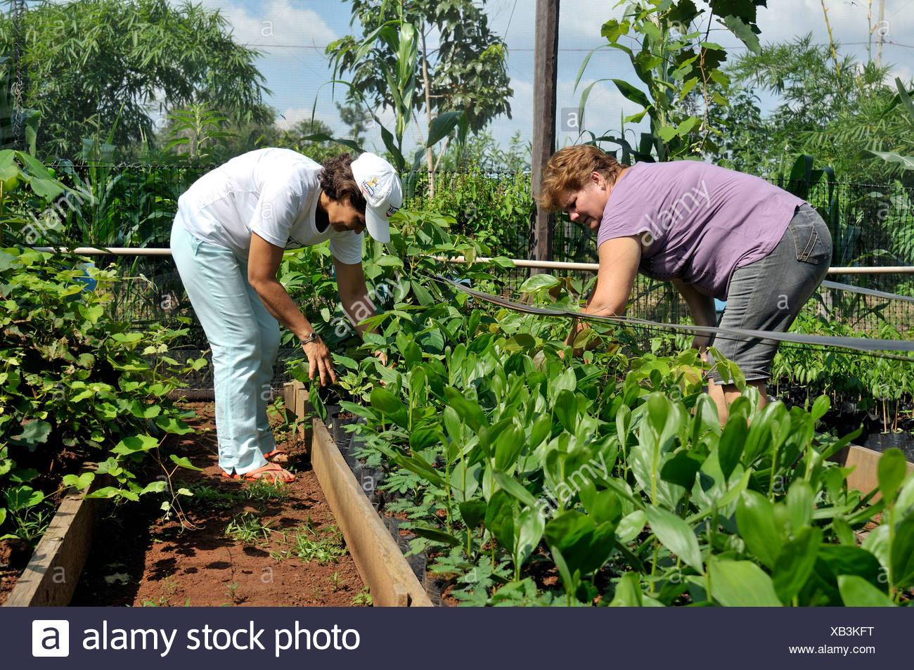 Landfrauen pflegen Setzlinge für die Wiederaufforstung von gerodeten Flächen im Amazonas-Regenwald, Baumschule einer Genossenschaft von Stockbild