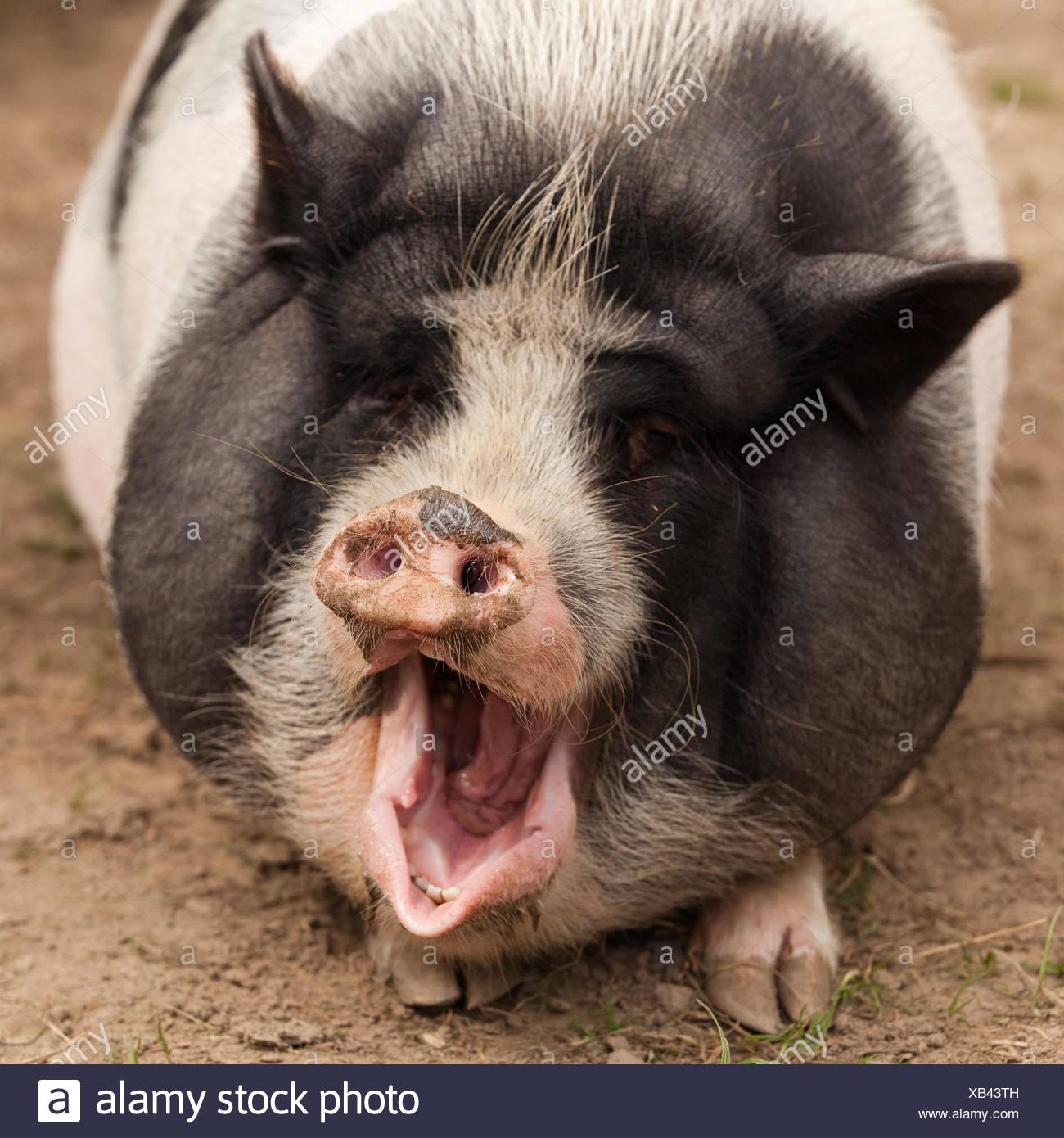 Ziemlich Schwein Anatomie Und Physiologie Zeitgenössisch ...