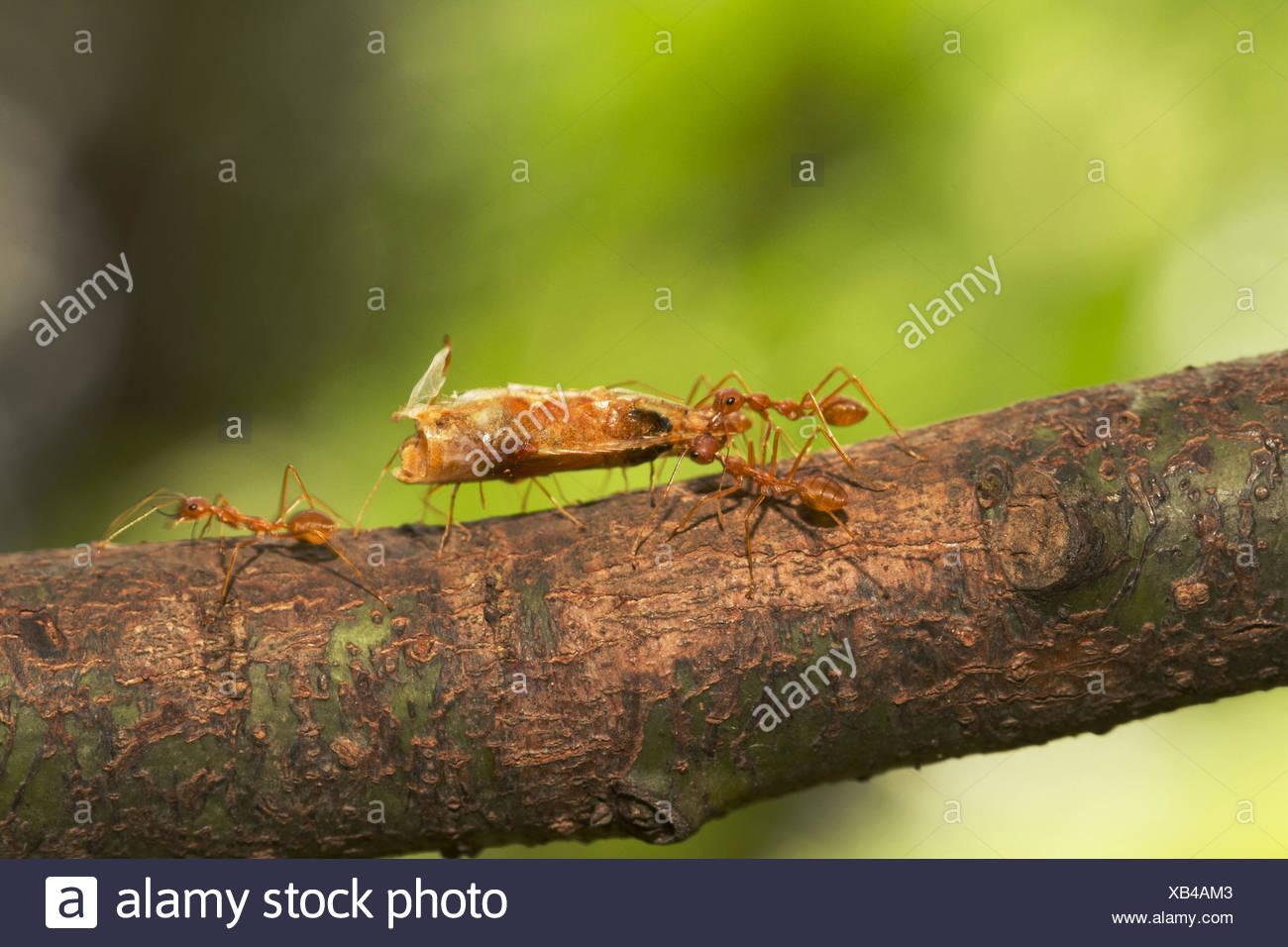 Fleischfressende Ameisen
