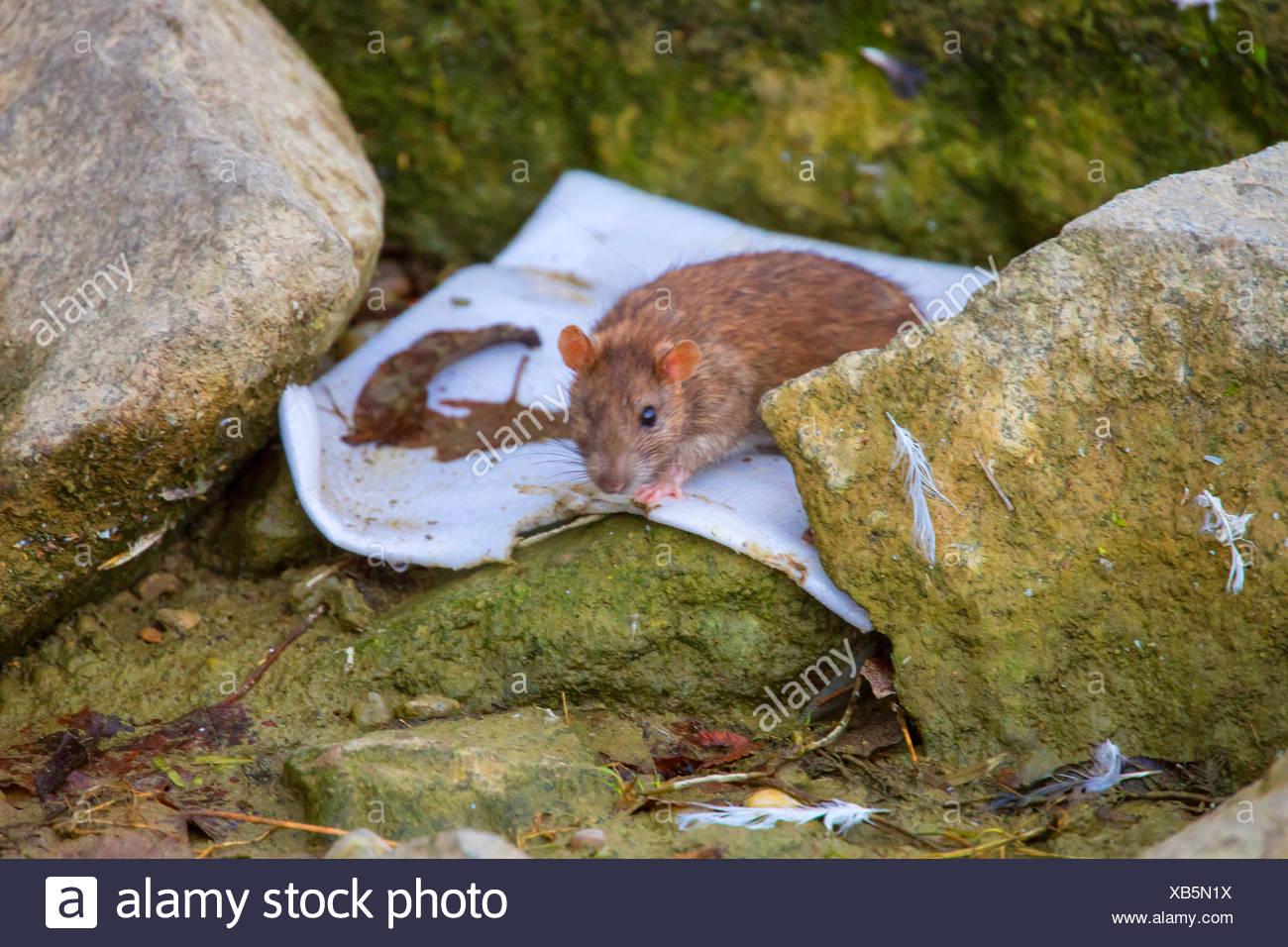 Braune Ratte, gemeinsame braune Ratte, Norwegen Ratte, gemeinsame Ratte (Rattus Norvegicus), mit nur einem Auge Suche Essen, Deutschland, Bayern, Niederbayern, Niederbayern Stockbild