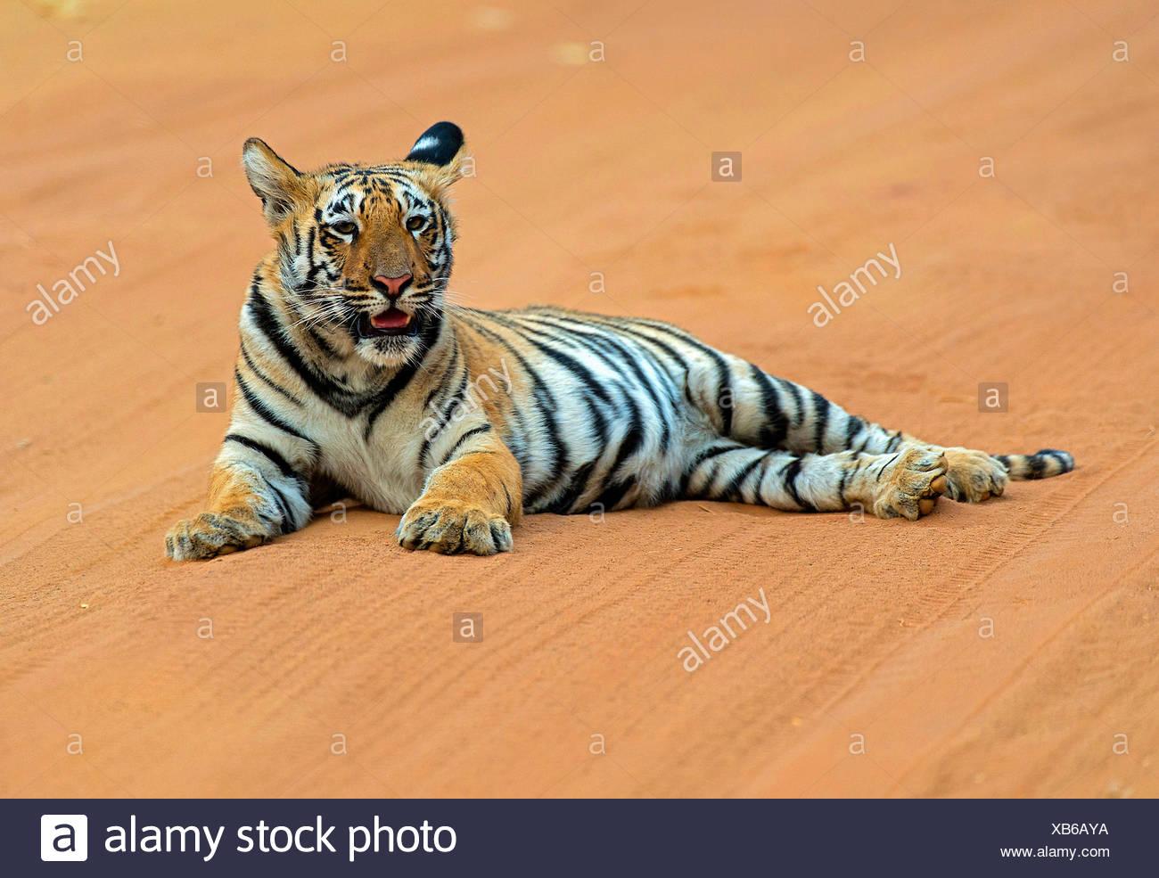 Koenigstiger, Indischer Tiger (Panthera Tigris Tigris), Bengaltiger Sechs Monate ändern Bengaltiger, Indien, Tadoba Nationalpark Stockbild