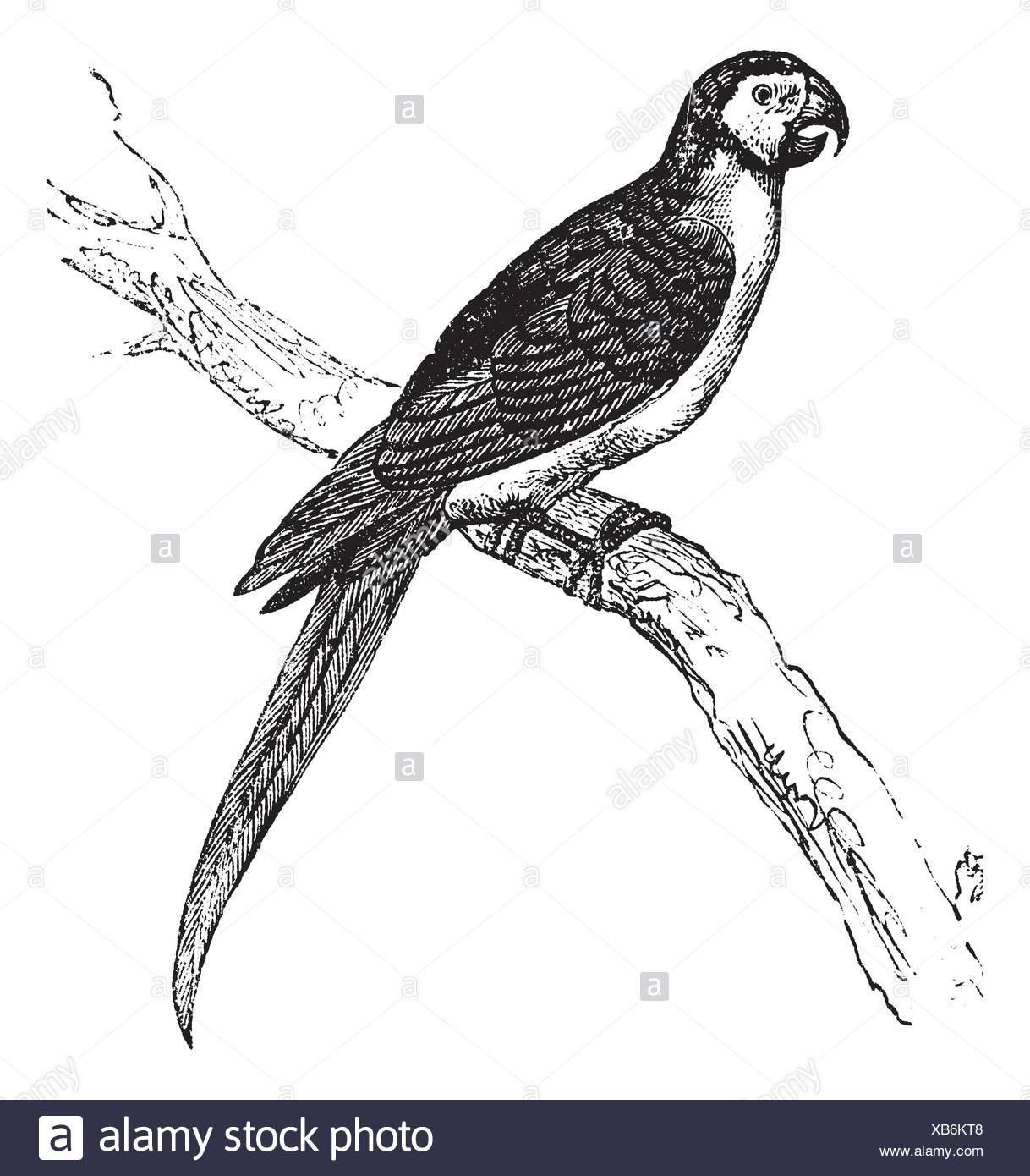 Parrot Illustration Vintage Print Stockfotos & Parrot Illustration ...