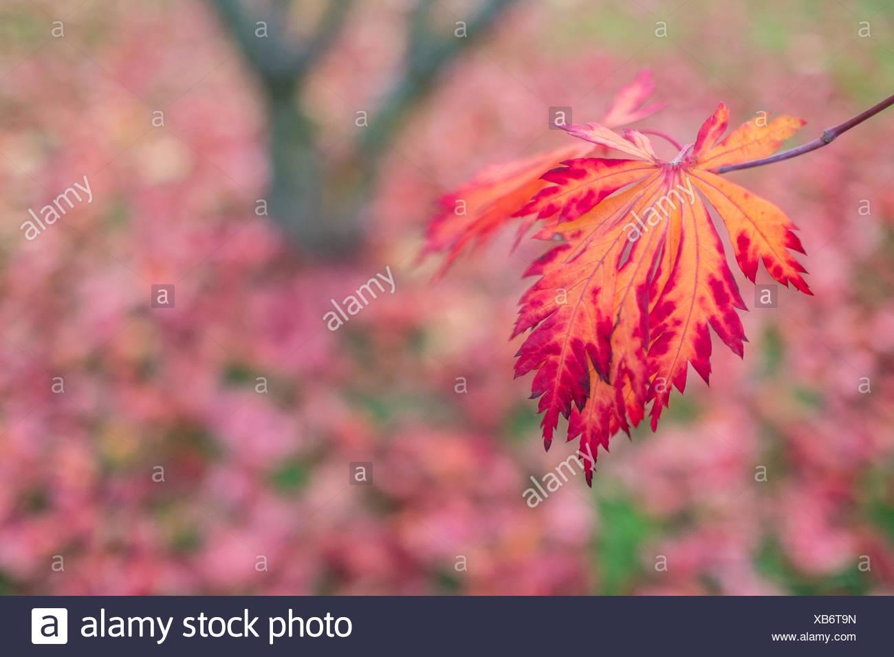 Blatt in Rot und Orange der Ahorn Stockbild