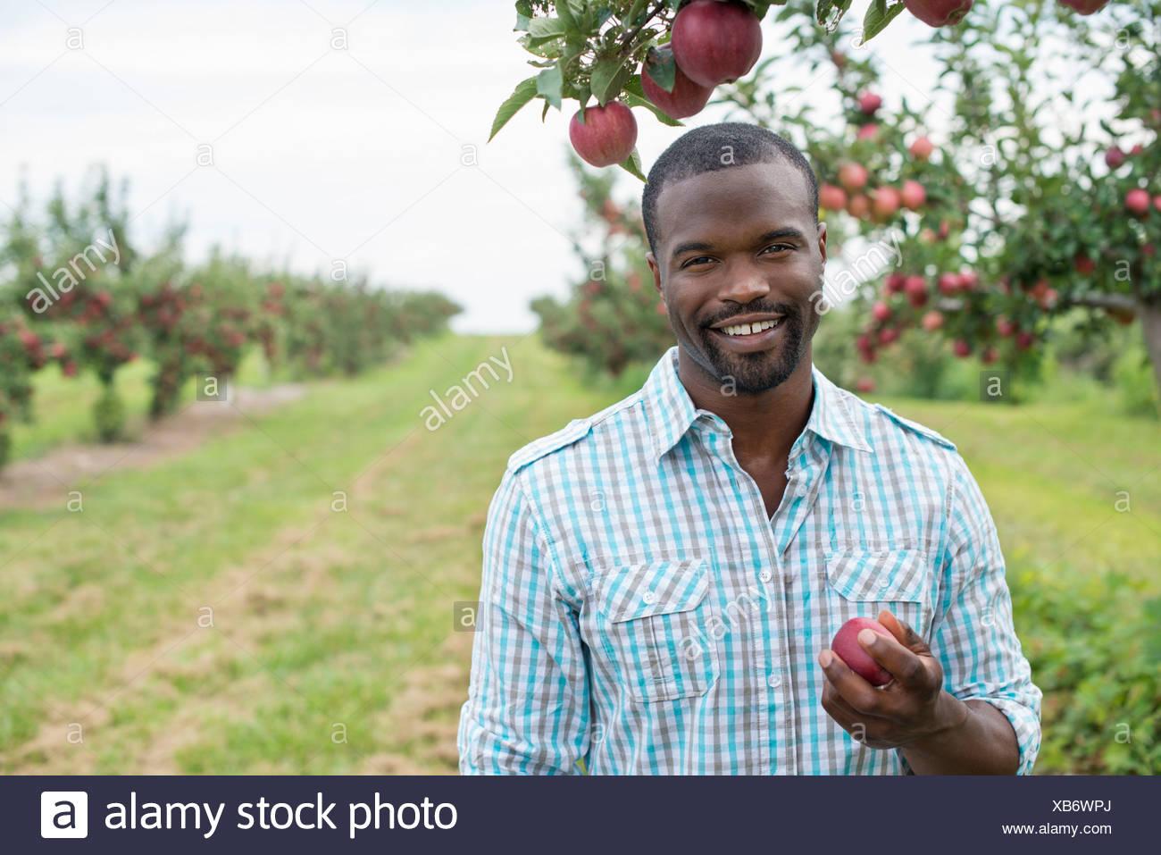 Ein Bio-Apfel-Baum-Obstgarten. Ein Mann der Reife rote Äpfel pflücken. Stockbild