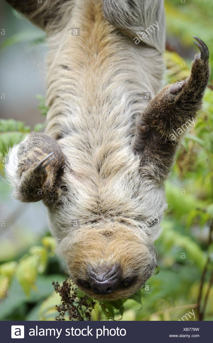 2 finger-Faultier, Choloepus Didactylus, Zweig, hängen, Aufstieg kopfüber, Tier, wildes Tier, Zoo-Tier, Pelz, Säugetier, Faultier, Unau, Krallen, Abschiede, Regenwald, exotisch, Stockbild