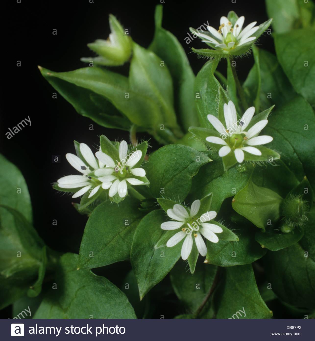 Vogelmiere Stellaria Media Blumen in Nahaufnahme Stockbild