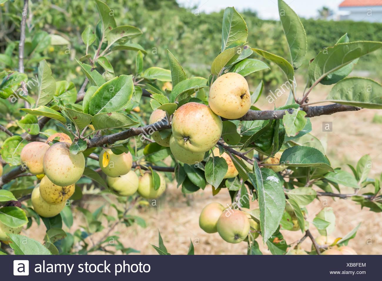 Geliebte Kleine Äpfel auf dem Baum Stockfoto, Bild: 282314892 - Alamy &WB_78