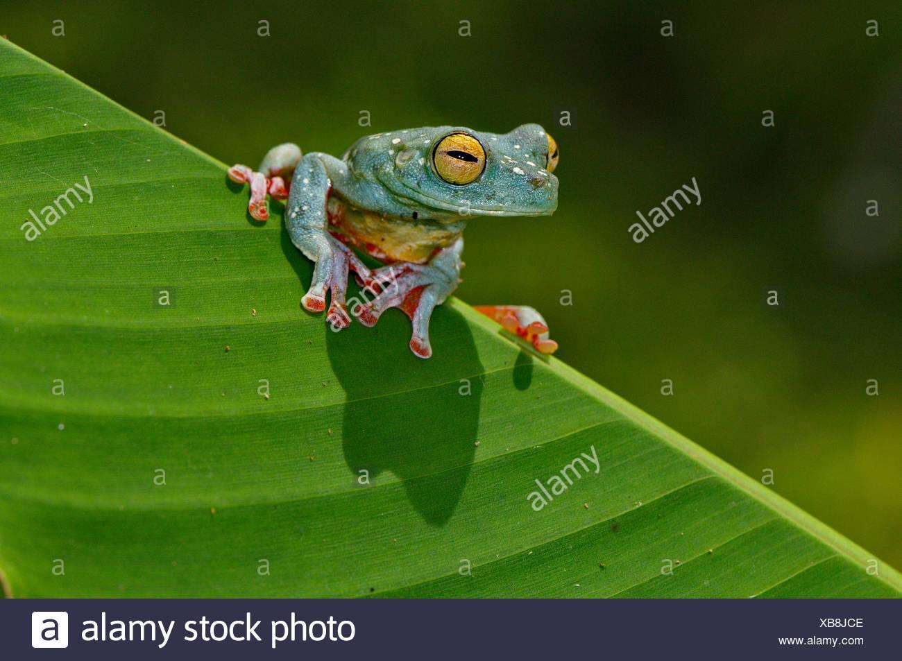 Frosch, Frösche, Laubfrosch, Scarlet-Schwimmhäuten Treefrog, Hypsiboas Rufitelus, Amphibium, Amphibien, tropischen, costarica, Tier, anima Stockbild