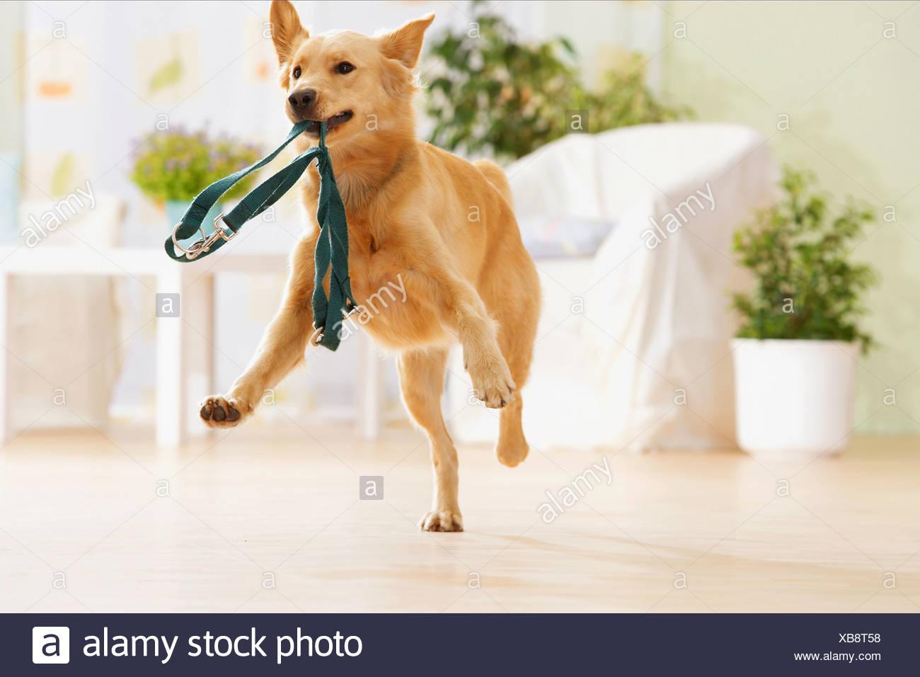 halbe Rasse Hund Abrufen von der Leine Stockbild