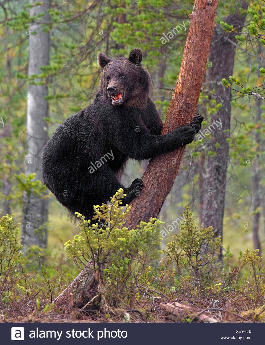 Ziemlich Braunbär Färbung Blatt Fotos - Malvorlagen Von Tieren ...