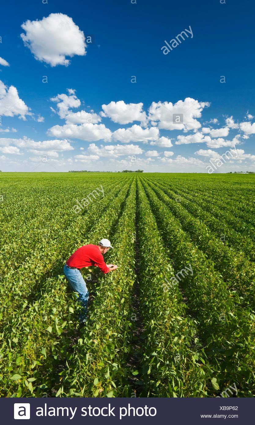 ein Landwirt Pfadfinder Mitte Soja Wachstumsfeld für Krankheit in der Nähe von Winkler, Manitoba, Kanada Stockbild