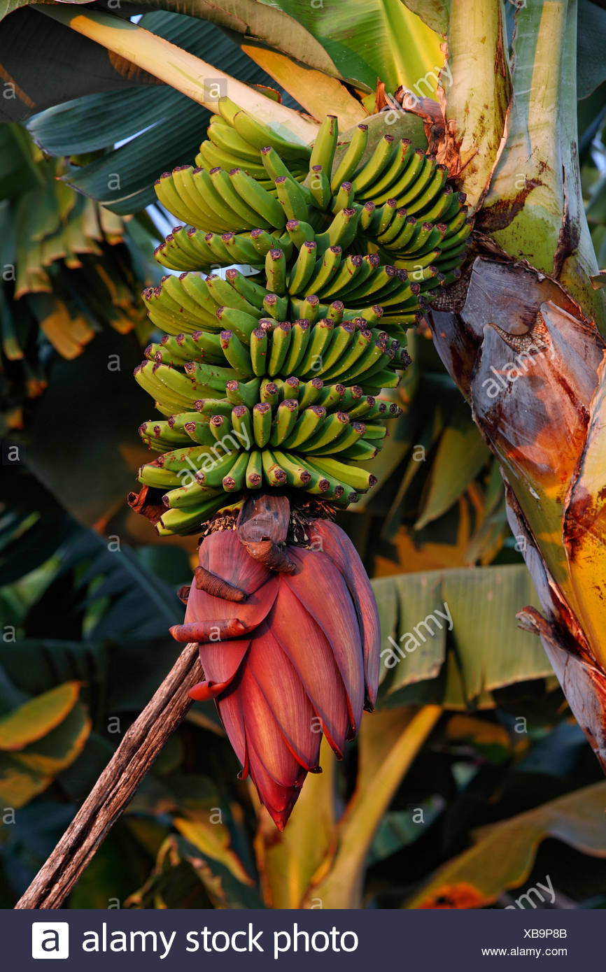Banane (Musa spec.), Fruchtstand, Kanarische Inseln, La Palma Stockbild