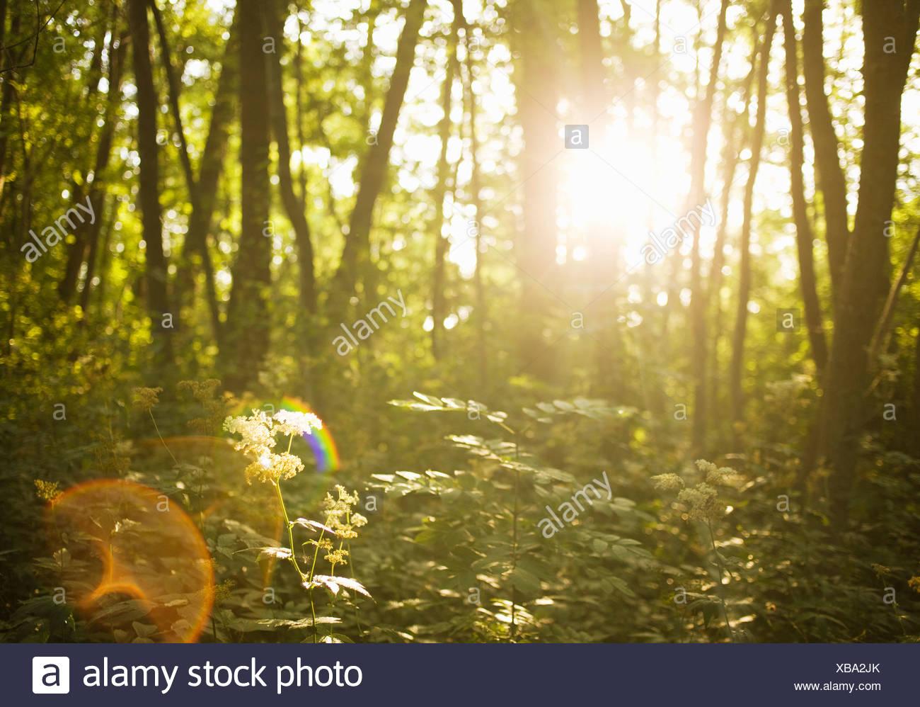 Eine Wald-Objektiv flare Schweden. Stockbild