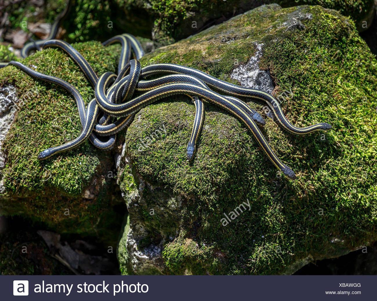 Rot-seitig Strumpfband Schlangen, die sich aus den Überwinterung während der jährlichen Paarungsritual, narcisse Schlange dens, narcisse, Manitoba, Kanada. Stockbild