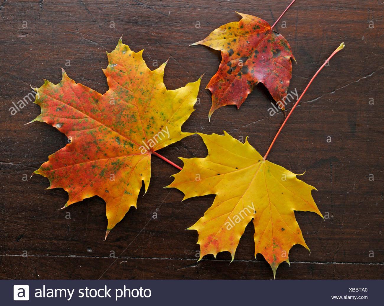 Berühmt Ahornbaum Blatt Färbung Seite Fotos - Druckbare Malvorlagen ...