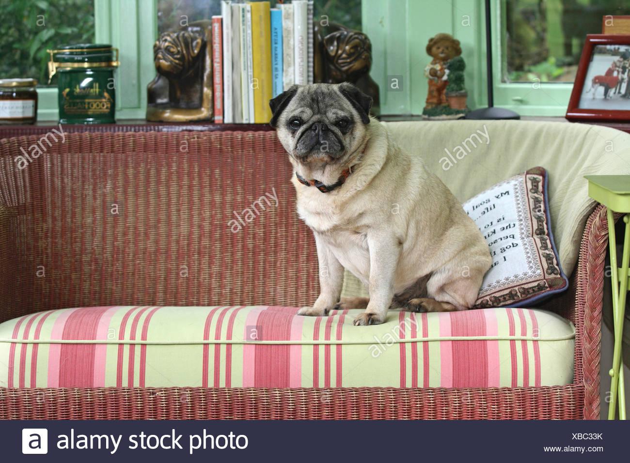 Mops (Canis Lupus F. Familiaris), sitzen auf der Couch im Wohnzimmer Stockbild