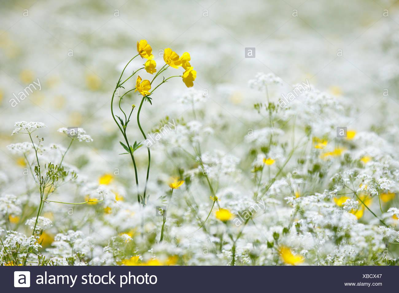 Blume, Blumen, Blumenwiese, reiche Farbgebung, Flora, Frühling, Crowfoot, Hintergrund, Kerbel, dünne Wiese, Masse, Muster, Schweiz Stockbild