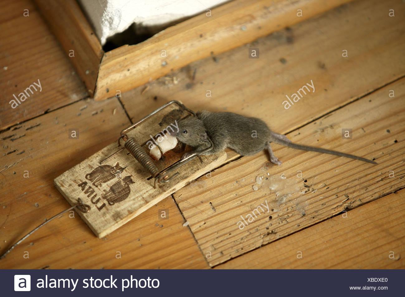 Mit Speck Fängt Man Mäuse Stockfotos Mit Speck Fängt Man Mäuse